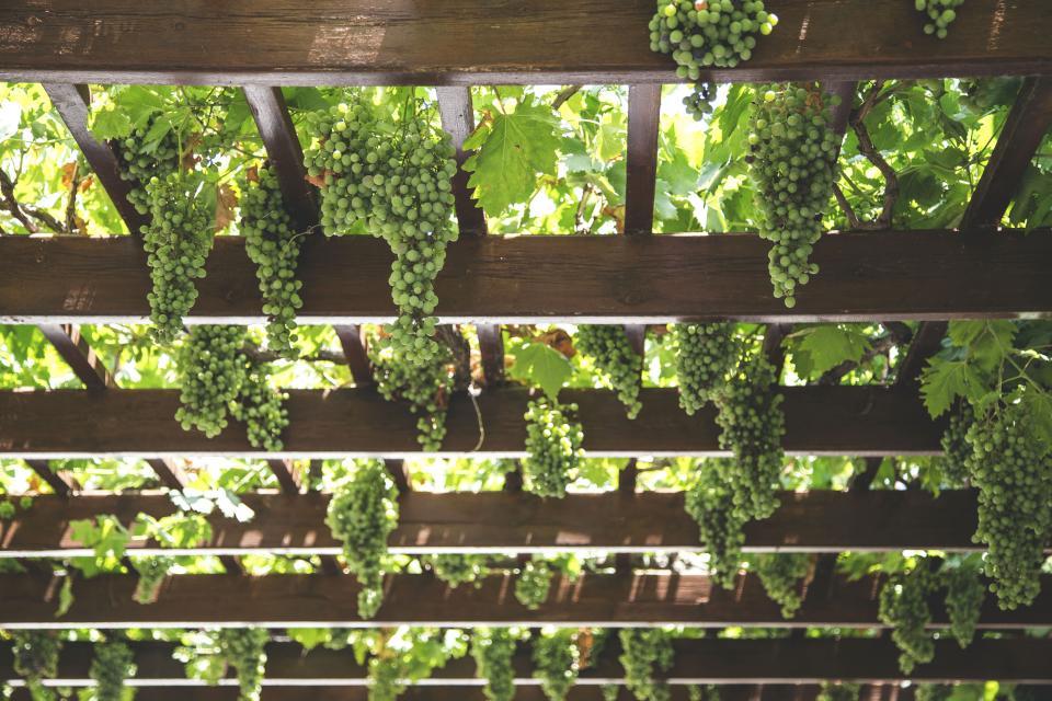Grape Vines on Pergola